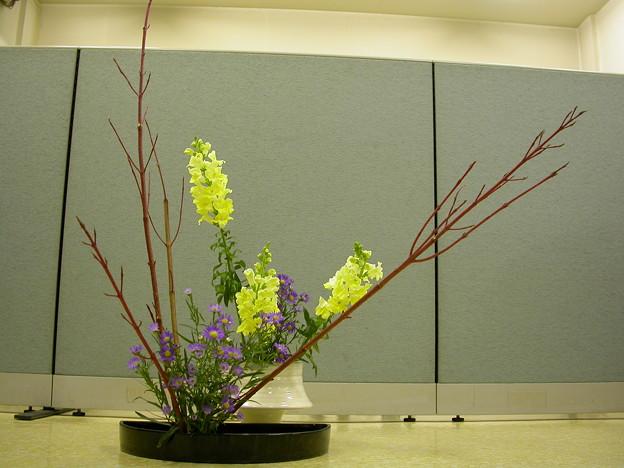 サンゴミズ木、クジャク草、金魚草
