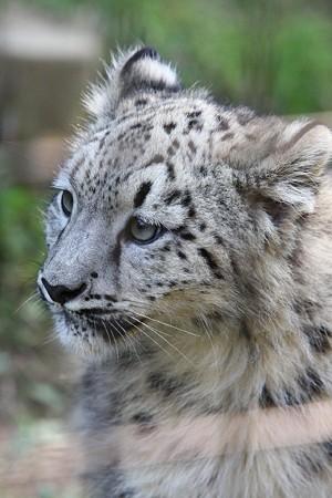 多摩動物公園111029-ユキヒョウの子供達 エナちゃん-13