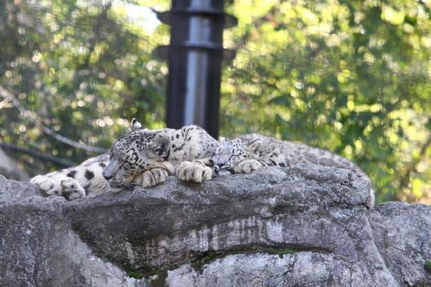 多摩動物公園111029-ユキヒョウの子供達 マユとエナちゃん-05