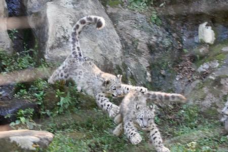 多摩動物公園111029-ユキヒョウの子供達 追いかけっこ-07