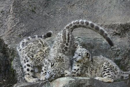 多摩動物公園111029-ユキヒョウの子供達 エナちゃんが降ってきて-02