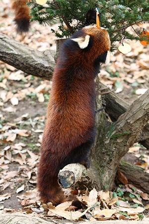 多摩動物公園111225-レッサーパンダ-12