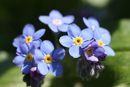 庭の宝石 青