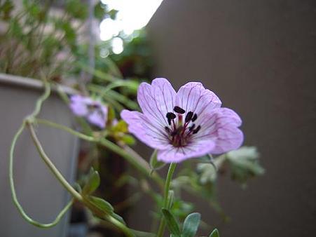 フウロ草・シネレウムバレリーナ