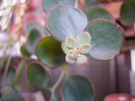 ミセバヤの花芽