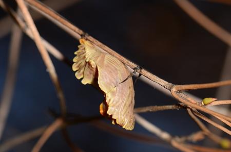 アゲハチョウ科 ジャコウアゲハ蛹