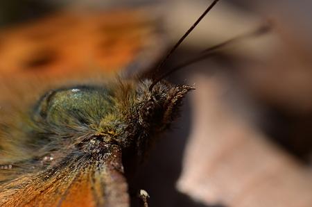 タテハチョウ科 ヒオドシチョウ