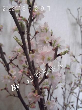 2012年3月29日 桜