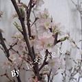 写真: 2012年3月29日 桜