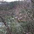 Photos: 山桜 前川ダムにて