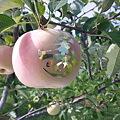 写真: りんご狩。行く場合は午前の早いうちがいい。今月中位が種類も多いと...
