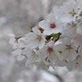 Photos: ソメイヨシノ