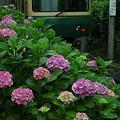 写真: 08.06.09江ノ電紫陽花-1