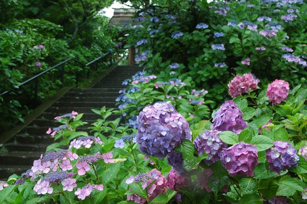 写真: 08.06.29東慶寺紫陽花