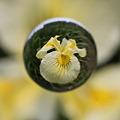 宙玉に咲く花菖蒲