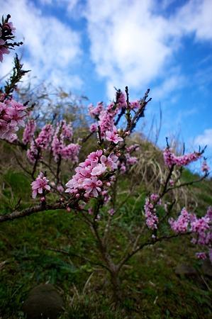 Cherry_blossom04202011nex5