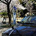 写真: コッチの桜が本物?