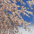 Photos: 桜日和 ☆