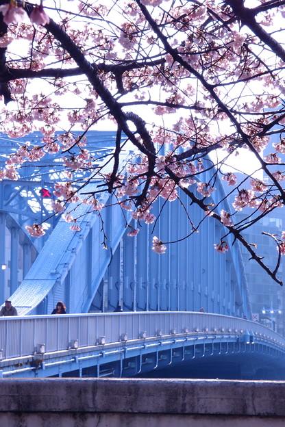 写真: 永代橋の大寒桜 2012  07