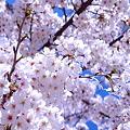 写真: 青空に咲き誇る