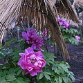 Photos: 雨の牡丹園2-743c