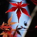 Photos: 近所の紅葉を楽しむ
