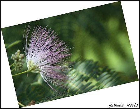 庭のネムノキの花