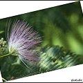 Photos: 庭のネムノキの花