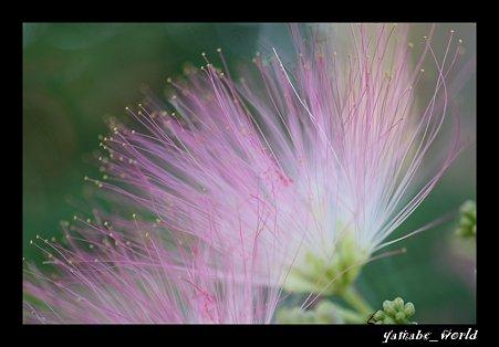 ネムノキの花 (足付き、、、)