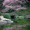 高遠コヒガン桜3/27日五分咲き
