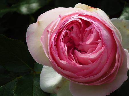 22智光山薔薇