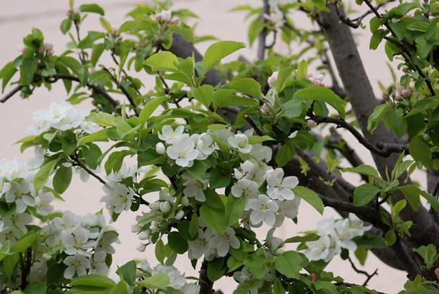 姫林檎(ヒメリンゴ)
