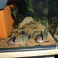 Photos: 20120317 45cmプレコ水槽のパンダ達