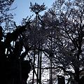 Photos: 逆光の神代桜