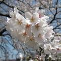 写真: 20110410_sakura3
