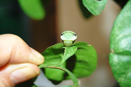 2011年09月17日_DSC_1218クロアゲハの終齢幼虫