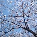 みたま園の桜3