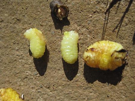 イラガイツツバセイボウの幼虫