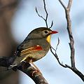 Photos: 相思鳥-美しき侵略者