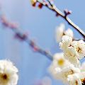 Photos: 白梅香