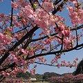 2012年3月6日 南伊豆町 「みなみ桜」 (6)