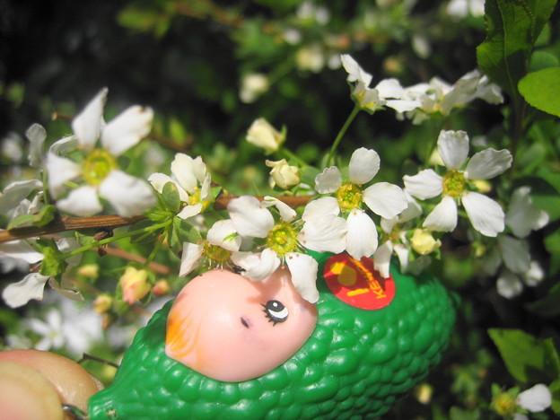 フジノピンキーの花1
