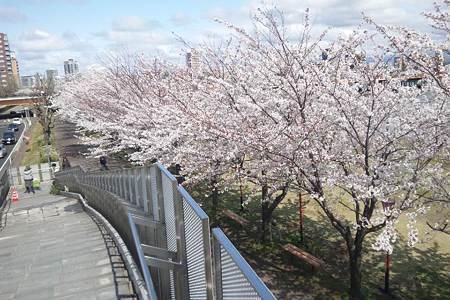 りゅーとぴあ脇やすらぎ堤の桜