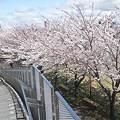 写真: りゅーとぴあ脇やすらぎ堤の桜