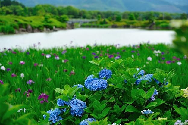 南楽園の紫陽花です。