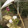 写真: 傘と冬牡丹