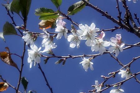 咲き分ける四季桜