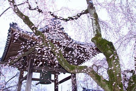 安長寺の枝垂れ桜3