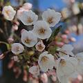 Photos: 桜の微笑み