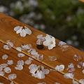 Photos: 雨のち晴れの桜たち